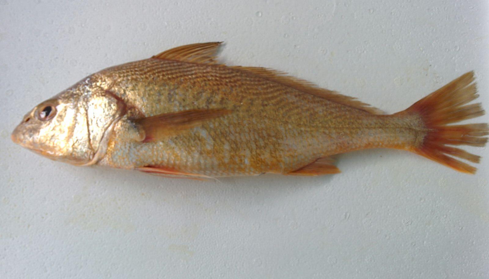 Bashaw\Croaker (Micropogonias furnierei)